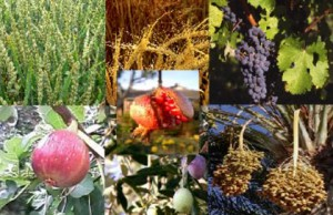 The 'Seven Species' of natural produce (listed in Deuteronemy 8:8) are particularly associated with the land of Israel.