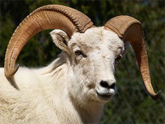 A live ram with horns