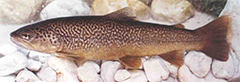 Trout - a kosher breed of fish with both fins and scales