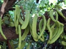 carob pods still on the tree